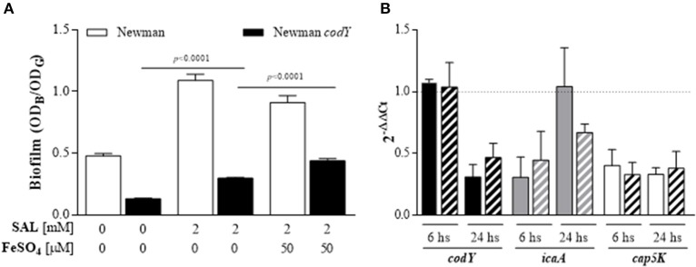 SAL decreases the codY transcript level and CodY contributes to diminishing SAL-induced <t>biofilm</t> after iron addition. (A) Biofilms formed by the Newman strain and its isogenic codY mutant in <t>TSBg</t> during 24 h in the presence or absence of 2 mM of SAL with or without 50 μM of FeSO 4 . Each bar represents the arithmetic mean ± SEM of sixtuplicate measurement from 3 independent experiments. The biofilms were quantified by crystal violet staining (OD B ) and expressed relative to the final culture density (OD G ). Comparisons are represented by lines and p -values are indicated above. (B) Expression of codY, icaA , and cap5K transcripts from immature (6 h) and mature (24 h) biofilms formed by the Newman strain grown in the presence or absence of 2 mM of SAL with or without addition of 50 μM of FeSO 4 . Changes in gene expression are shown as normalized mean fold change [2 (−ΔΔCt) ] ± SEM (differences of target gene expression with SAL or SAL+Fe 2+ compared to target gene expression in TSBg). Data were normalized to gyrB expression. Untreated biofilms (TSBg groups) were used as controls (controls = 1, represented by dotted horizontal line). Plain bars: TSBg vs. SAL. Striped bars: TSBg vs. SAL+Fe 2+ . Each bar represents the arithmetic mean ± SEM of 3 independent experiments in duplicate.