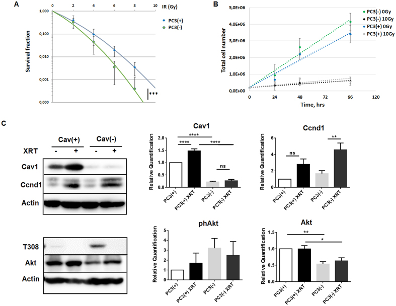 Reduction of Cav1 levels decreased survival of clonogenic epithelial PC3 while proliferation was increased in vitro . ( A ) PC3 (shCav1-transfected tumor cells [PC3(−)] as well as PC3 shCtrl control cells [PC3(+)] with normal Cav1 expression) cells were plated for colony formation assay, irradiated with indicated doses (0–8 Gy) and subsequently further incubated for additional 10 days. Data show the surviving fractions from three independent experiments measured in triplicates each (means ± SD). *** P ≤ 0.005 by two-tailed students T-test. ( B ) Cell proliferation was analyzed by cell counting in cultured shCav1-transfected PC3(−) and control-transfected PC3(+) epithelial cells at the indicated time points after irradiation with 10 Gy. Data are shown as means ± SEM of three independent experiments. ( C ) Expression levels of the indicated proteins were analyzed in whole protein lysates of cultured PC3 cells (+/−Cav1) with or without radiation (48 hours after XRT with 10 Gy) using Western blot analysis. Representative blots are shown. For quantification blots were analyzed by densitometry and the respective signal was related to beta-actin (n = 4–5 for each group). For determination of the Akt phosphorylation status the obtained phospho-specific signal was related to the signal of the total protein (phAkt/Akt). P-values were indicated: * P ≤ 0.05, ** P ≤ 0.01, **** P ≤ 0.001, by one-way ANOVA followed by post-hoc Tukey test.