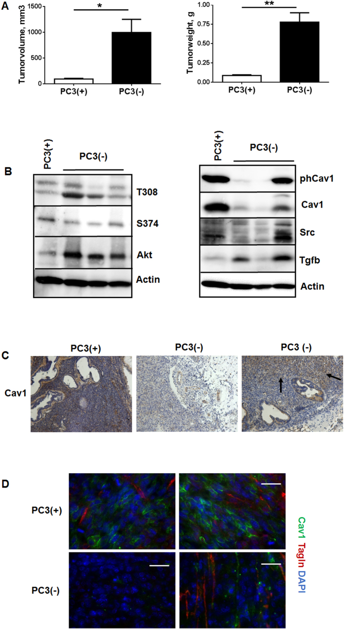 Orthotopic tumors derived from Cav1-silenced PC3(−) cells showed a significantly increased tumor growth and epithelial Cav1 (re-) expressions. ( A ) PC3 (+/−Cav1) cells were injected into the right and left dorsolateral lobe (0.5 × 10 5 cells per lobe) of the prostate of NMRI nude mice. Tumor weight and volume was determined 14 days after tumor cell implantation. Data are presented as mean ± SEM from 3 independent experiments (16 mice in total: PC3(+) n = 7; PC3(−) n = 9); *P ≤ 0.05, **P ≤ 0.01 by two-tailed t-tests with Welch's correction. ( B ) Expression levels of the indicated proteins were analyzed in whole protein lysates using Western blot analysis. Representative blots are shown. ( C ) Tumors derived from shCav1 PC3 cells as well as from shCtrl control cells with normal Cav1 expression were subjected to immunohistochemistry with Cav1 antibody. Representative images are shown. Sections were counterstained using hematoxylin. Arrows point towards Cav1-positive epithelial cells within tumors derived from implanted PC3(−) cells. Magnification 20x. ( D ) Orthotopic grown tumors were further analysed by immunofluorescence and confocal microscopy. Tumor stroma was stained for Tagln (red) and Cav1 (green). Representative images from at least three independent experiments are shown. Magnification 63x (scale bar 50 μm).