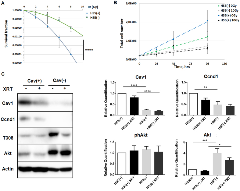 Reduction of Cav1 levels increased survival of clonogenic epithelial PC3 and stromal HS5 cells while proliferation was decreased in vitro. ( A ) Lentiviral expression of a Cav1-specific siRNA (shCav1) in stromal HS5 fibroblasts resulted in an efficient and sustained down-regulation of Cav1 expression compared to control-transduced (shCtrl) cells as shown by Western blot analysis. β-actin (bActin) was included as loading control. Representative blots of at least three different experiments are shown. ( A ) HS5 (shCav1-transfected fibroblasts [HS5(−)] as well as shCtrl control cells [HS5(+)] with normal Cav1 expression) cells were plated for colony formation assay, irradiated with indicated doses (0–8 Gy) and subsequently further incubated for additional 10 days. Data show the surviving fractions from three independent experiments measured in triplicates each (means ± SD). **** P ≤ 0.001 by two-tailed students T-test. ( B ) Cell proliferation was analyzed by cell counting in cultured shCav1-transfected HS5(−) and control-transfected HS5(+) fibroblasts cells at the indicated time points after irradiation with 10 Gy. Data are shown as means ± SEM of three independent experiments. ( C ) Expression levels of the indicated proteins were analyzed in whole protein lysates of cultured HS5 cells (+/−Cav1) with or without radiation (48 hours after XRT with 10 Gy) using Western blot analysis. Representative blots are shown. For quantification blots were analyzed by densitometry and the respective signal was related to beta-actin (n = 4–5 for each group). For determination of the Akt phosphorylation status the obtained phospho-specific signal was related to the signal of the total protein (phAkt/Akt). P-values were indicated: * P ≤ 0.05; ** P ≤ 0.01; *** P ≤ 0.005 **** P ≤ 0.001; by one-way ANOVA followed by post-hoc Tukey test.