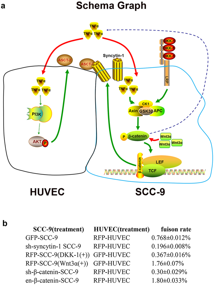 The schema graph and summary of fusion rate between SCC-9 and HUVEC. ( a ) The schema graph of fusion between SCC-9 and HUVEC and the molecular mechanism underlying. When TNF-α was added in SCC-9, the tripolymer of APC, Axin and GSK3β was suppressed, This disrupted phosphorylation/degradation of β-catenin, allowing β-catenin to enrich in the cytoplasm and then enter into nucleus, where it served as a co-activator for TCF/LEF to activate syncytin-1; DKK-1 was the inhibitor of Wnt/β-catenin. DKK-1 could bind to LRP5/6, leading to the activation of the tripolymer (APC, Axin and GSK3β), which on the following would augment the phosphorylation/degradation of β-catenin, and the amount of β-catenin was not sufficient enough to pass into the nucleus, so the expression of syncytin-1 would decreased; Wnt3α could stabilize the status of β-catenin, which would cause the increased expression of β-catenin, afterwards, β-catenin would enter into nucleus and activate TCF/LEF, and then aggrandize the expression of syncytin-1. Our previous studies showed that hypoxia could promote angiogenesis of HUVECs through PI3k/Akt signal pathway. In this study, we preliminary explored and considered that PI3k/Akt signal pathway was closely associated with TNF-α enhanced expression of ASCT-2. There are some reports deemed that some tumor cells could secret TNF-α, we also found that SCC-9 could secret soluble TNF-α, and we thought Wnt/β-catenin could elegantly regulate and control the expression of TNF-α. Further study is needed. When TNF-α was added into HUVEC, it could enlarge the expression of ASCT-2, Next, the ligand, syncytin-1 could bind to the receptor, ASCT-2, and then take part in the control of cell fusion between SCC-9 and HUVEC. ------ steps which had not been confirmed —— steps which had been confirmed. ( b ) The summary of fusion rate with/without stimulus and disposing.