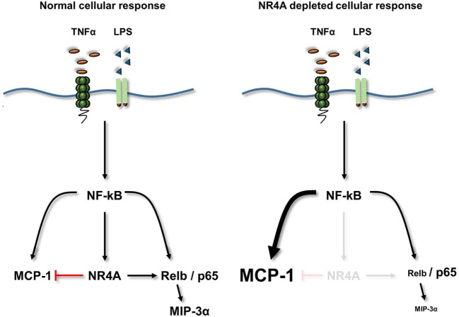 Summary diagram . TLR4 or TNFα receptor stimulation increases the activity of NF-κB and the expression of its target genes NR4A1–3 (NR4A), <t>MCP-1,</t> MIP-3α, and Relb. Loss of NR4A potentiates this induction of MCP-1, while reducing the induction of Relb and MIP-3α. Furthermore using mouse embryonic cells, we identify MIP-3α is a novel Relb target gene. Therefore, NR4A receptors act as repressors of inflammatory-NF-κB-driven MCP-1 (indicated by a red T bar) and enhancers of NF-κB-driven Relb and subsequently MIP-3α. Using a NR4A2 DNA-binding mutant reveals that NR4A2 does not require the ability to bind DNA in order to enhance/repress target genes simultaneously.