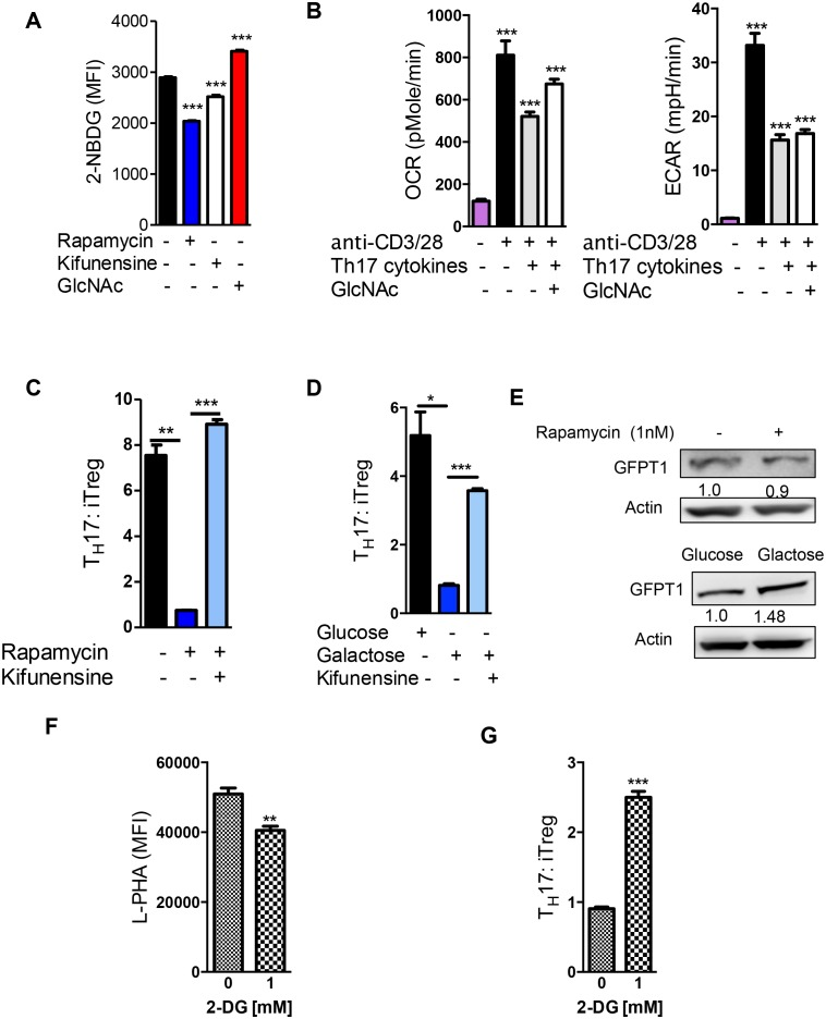 Glycolysis promotes T H 17 over iTreg cell fate by inhibiting N-glycan branching. ( A ) Flow cytometry analysis of purified splenic CD4 + T cells activated with anti-CD3+ anti-CD28 for 2 days with T H 17 cytokines and as indicated for 1 hr with 2-NBDG. ( B ) Oxygen Consumption Rate (OCR) and the Extracellular Acidification Rate (ECAR) of purified splenic CD4 + T cells at rest or activated with anti-CD3+anti-CD28 for 2 days with/without T H 17 cytokines (TGFβ+IL-6+IL-23) as indicated. ( C–G ) Flow cytometry ( C,D,F,G ) and Western blot ( E ) analysis of purified mouse splenic CD4 + T-cells activated with anti-CD3+anti-CD28 under T H 17-inducing conditions (TGFβ+IL-6+IL-23). Gated on CD4 + T cells. *p