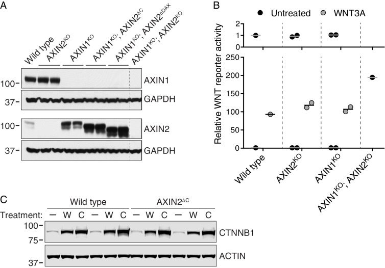 AXIN1 and AXIN2 are redundant in haploid human cells ( A–B ), and CTNNB1 protein is stabilized normally in AXIN2 ∆C cells ( C ). ( A ) Immunoblots of total AXIN1, AXIN2 and GAPDH in various AXIN1 and/or AXIN2 deletion and/or truncation cell lines. GAPDH loading controls are shown below their respective blots. Single WT and AXIN1 KO ; AXIN2 KO clonal cell lines, and two independent clonal cell lines for all other genotypes were analyzed. Genotypes are indicated above the blots. Cells were treated with 10 μM CHIR-99021 to increase AXIN2 expression, since under unstimulated conditions AXIN2 levels were almost undetectable. Both AXIN1 and AXIN2 are expressed in HAP1-7TGP cells. Disruption of AXIN1 led to a marked increase in full-length and truncated AXIN2 protein abundance. ( B ) WNT reporter activity (median EGFP fluorescence from 10,000 cells), relative to untreated WT cells. Cells were treated with 50% WNT3A CM where indicated. Each circle represents a unique clonal cell line (see Supplementary file 2 ). Single WT and AXIN1 KO ; AXIN2 KO cell lines were analyzed. For AXIN2 KO and AXIN1 KO cells, the average of two independent clonal cell lines is indicated by a horizontal line. The top graph shows an expanded view of the y-axis to clearly show low levels of reporter activity for untreated cells. AXIN2 and AXIN1 are functionally redundant in HAP1-7TGP cells. ( C ) Representative immunoblots of soluble CTNNB1 and ACTIN used for quantification in Figure 3D . Two WT and two AXIN2 ∆C clonal cell lines were analyzed. Cells were treated with 50% WNT3A CM ('W') or 10 μM CHIR-99021 ('C') where indicated. CTNNB1 protein was stabilized normally in AXIN2 ∆C cells following both treatments. DOI: http://dx.doi.org/10.7554/eLife.21459.008