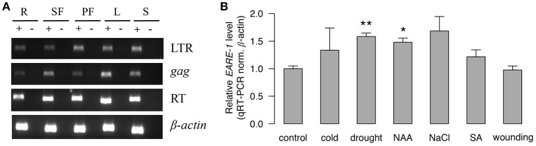 The transcriptional activity of EARE-1 in E. agallocha . (A) Expression of EARE-1 in different organs of E. agallocha . R, root; SF, staminate flower; PF, pistillate flower; L, leaf and S, seed. β-actin was used as an internal control. (+): reactions with reverse transcriptase; (−): reactions without reverse transcriptase. (B) Stress-responsive expression of EARE-1 determined by qRT-PCR. The data shown are the relative expression levels of EARE-1 in the stress-treated vs. untreated (control) leaves of E. agallocha normalized using the expression levels of β -actin . Cold, 4°C treatment; drought, 20% PEG 6000; NAA, 50 μM 1-naphthylacetic acid; NaCl, 200 mM NaCl; SA, 1 mM salicylic acid and wounding. Three biological replicates were conducted for each treatment. The significance determined by a two-tailed t -test is shown as * , P