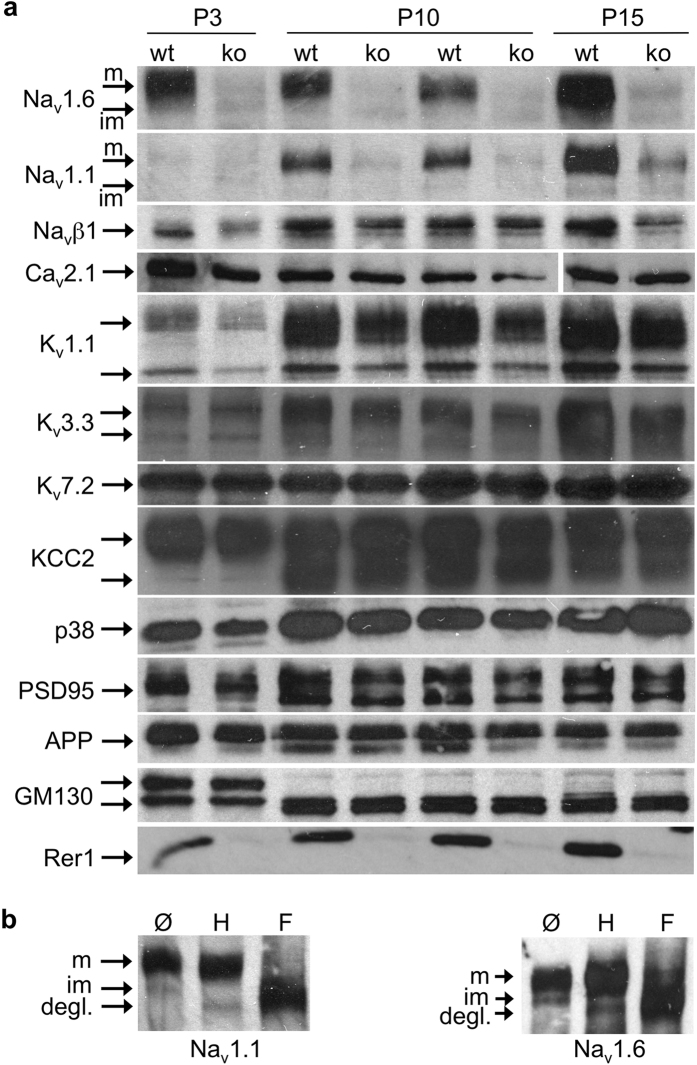 Absence of Rer1 reduces Na v  protein levels. ( a ) Brain lysates of Rer1 Δbrain  (ko) and control littermates (wt) of different ages as indicated were separated by SDS-PAGE, blotted and probed with indicated antibodies. In the Ca v 2.1 blot the irrelevant lane #7 was removed and the two last lanes flipped vertically, to match loading of the other gels. See full-length blot in the  supplemental Fig. 5 . P38, synaptophysin. ( b ) De-glycosylation of Na v 1.1 and 1.6 indicates maturation status of the different bands. Brain lysates of P15 wt mice were subjected to de-glycosylation with endoglycosidase H (H) or PNGaseF (F) and processed for Western Blotting with Na v 1.1 and 1.6 antibodies. Im, immature (endoH sensitive); m, mature (endoH resistant); degl, de-glycosylated Na v 1.1 or 1.6 after PNGase F digest. In a, b cropped blots are shown, full-length blots are shown in  supplemental Figs 5,6 .