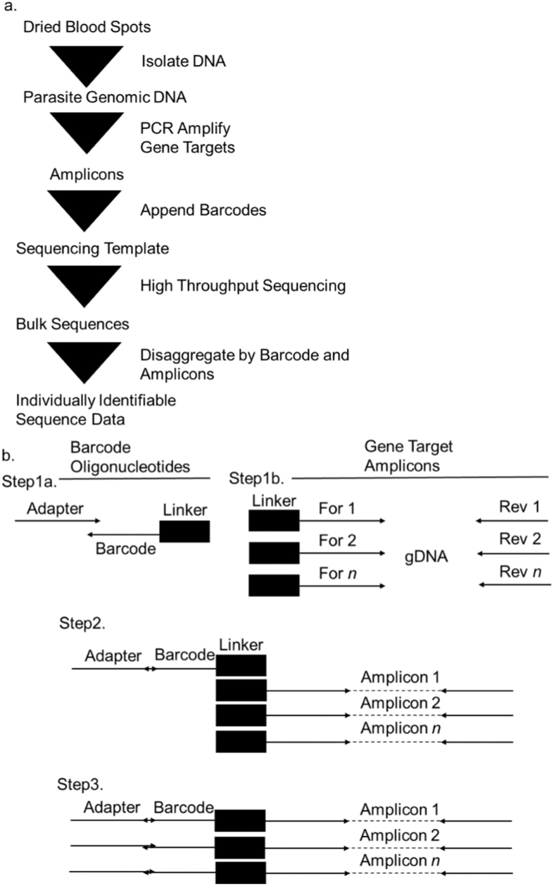 ( a ) Workflow for preparation of individually identifiable sequence data from dried blood spots. ( b ) PCR Schema to append unique barcode oligonucleotides to multiplexed gene-target amplicons.