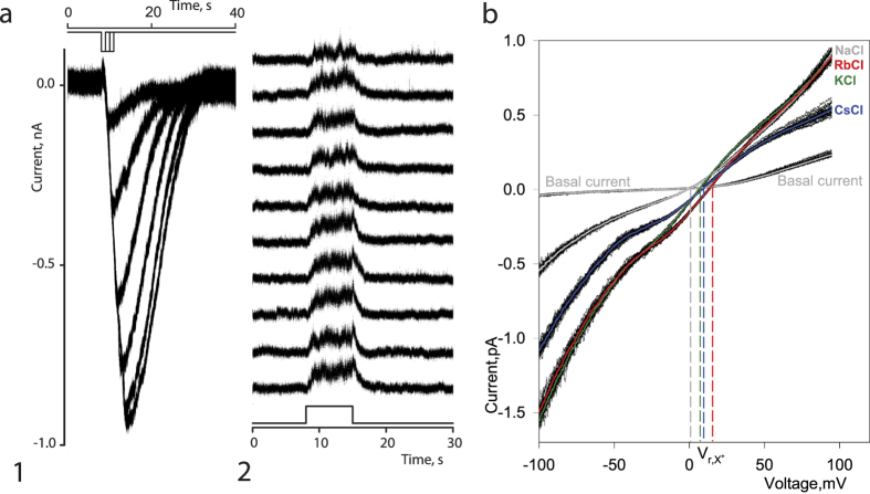 Electrophysiological properties and monovalent cation permeability of CpomOR channels. (a) CpomOrco + OR1 expressing HEK cells respond to the unspecific agonist VUAA3 200 μM generating inward currents in dose dependent manner (a1). Experimental conditions: whole-cell voltage clamp recording; holding potential: −50 mV; intracellular solution (mM): NaCl 140, EGTA 0.5, Hepes 10, pH 7.4; extracellular solution (mM): 140 NaCl, 2.0 CaCl 2 , 10 HEPES, pH 7.5. Stimulus intensity was changed by changing stimulus pulse duration. Basal current level was subtracted. VUAA3, 200 μM, applied repeatedly to the extracellular surface of membrane patch in outside-out configuration reversibly increased membrane current noise that can be associated with the activity of ion channels (a2). Experimental conditions: outside-out patch recording; holding potential +50 mV; intracellular solution (mM): KCl 140, EGTA 1, Hepes 10, pH 7.4; extracellular solution (mM): 140 NaCl, 2.0 CaCl 2 , 10 HEPES, pH 7.5; stimulus: VUAA3, 200 μM. Diagrams in a1 and a2 depict a time course of stimulus presentation. Note: the VUAA3 activated OR channels demonstrate little if any rundown. (b) To estimate the selectivity of the OR channels to monovalent cations we used whole-cell recordings. VUAA3 (200 μM) was added to all extracellular test solutions. Cells were first exposed to NaCl 140 mM solution. Then, the same whole-cell preparation was exposed to a solution in which the Na + ions were replaced by one of the following cations: Li + , K + , Cs + , Rb + . A series of ramps (50–100, black lines) were used for every solution tested and averaged (color lines). A potential at which current voltage characteristic of VUAA3 activated integral current intercepts current voltage characteristic of basal current was used as a Vr of the OR channel current in a given ion conditions (vertical colour lines). To determine the reversal potential shift (ΔVr), the Vr of the currents obtained in symmetrical Na + conditions (VrNa +