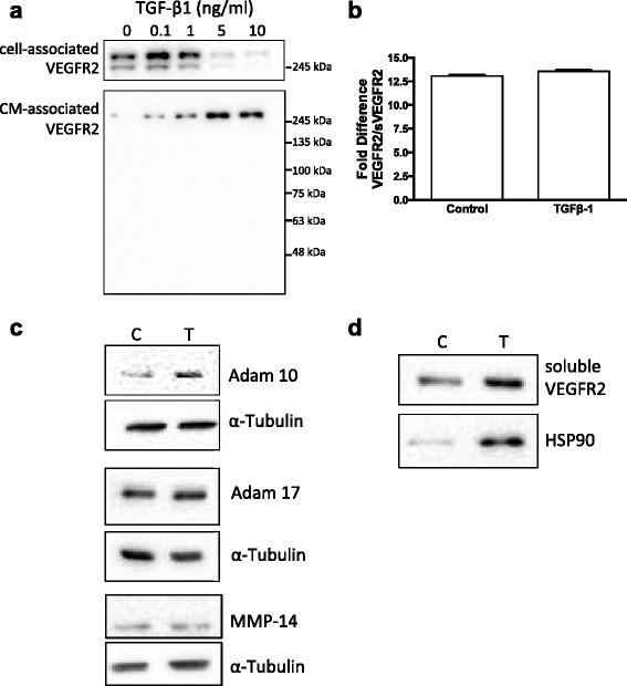 TGF-β1 reduces VEGFR2 expression via multiple mechanisms. a Western blot showing TGF-β1 induced loss of cell associated VEGFR2 protein and concomitant increase in full-length VEGFR2 detected in conditioned medium. b Quantitative PCR analysis showed that there was no change in the relative ratio of full length VEGFR2 mRNA to alternative spliced sVEGFR2 mRNA upon TGF-β1 treatment. c TGF-β1 treatment induced increased expression of ADAM family sheddase enzyme ADAM 10. TGF-β1 treatment had no effect on the expression of ADAM 17 or the membrane-associated metalloproteinase MMP-14. d Ultracentrifugation of endothelial conditioned medium demonstrated that soluble VEGFR2 is associated with the extracellular vesicle/exosome marker HSP90 in TGF-β1 treated cells