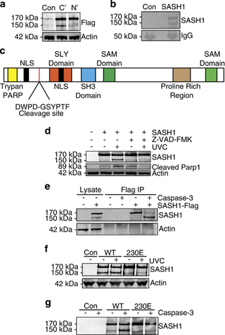 SASH1 is cleaved by caspase-3 at D230. ( a ) Immunoblot of U2OS cells overexpressing N- or C-terminal Flag-tagged SASH1. ( b ) Coomassie-stained sodium dodecyl sulfate-polyacrylamide gel electrophoresis (SDS-PAGE) gel containing immunoprecipitation of C-terminal Flag-tagged SASH1. ( c ) Schematic diagram of SASH1 protein domains indicating cleavage site and N-terminal sequencing of amino acids (GSYPTF), which are preceded by a caspase-3 recognition site (DXXD). ( d ) SASH1 was immunoprecipitated from SASH1-Flag stably expressing U2OS cells using M2 Flag beads, followed by induction of apoptosis by UVC (50 mJ/cm 2 , 3 h) with cells pre-treated (30 min) with caspase-3 inhibitor Z-VAD-FMK (20 μ M). ( e ) SASH1 is cleaved by recombinant caspase-3. SASH1 was immunoprecipitated from U2OS cells as per ( d ) and incubated with recombinant caspase-3 (2 U, 16 h). ( f ) Ectopically expressed 230E mutant SASH1 is not cleaved following UVC exposure. HeLa cells overexpressing wild-type or D230E were treated with UVC (50 mJ/cm 2 , 3 h). Cell extracts were immunoblotted and incubated with the indicated antibodies. ( g ) SASH1 230E mutant is not cleaved by recombinant caspase-3. Cell extracts taken from HeLa cells overexpressing wild-type and 230E SASH1 were incubated with recombinant caspase-3 (2 U, 16 h)