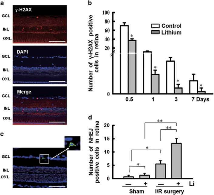Lithium treatment stimulates NHEJ repair in a rat model of retinal I/R injury. ( a ) Location of γ -H2AX foci coincides with CREB1 phosphorylation, Nrf-1 and ligase IV in retina after following I/R surgery. The γ -H2AX-positive cells were primarily located in the INL and GCL. Scale bars: 100 μ m. ( b ) γ -H2AX expression was quantified after I/R surgery by counting foci. These data are graphically represented (12 h, 37.0±3.74; 1d, 2.66±0.6; 3d, 0.8±0.5; 7d, 0.3±0.5) compared with controls (12 h, 70.33±6.55; 1d, 11.3±0.2; 3d, 4.5±0.5; 7d, 1.8±0.9). ( c ) DNA NHEJ assay in vivo . (The strategy of the NHEJ repair assay is shown in Figure 3d .) At 24 h after I/R surgery, intravitreal injection was performed with the linearized plasmid pEGFP-N1 following transfecting reagent following the manufacturer's instructions ( in vivo -jetPEI). At 48 h after transfection, the retina is fixed and sliced. GFP is detectable in the RGC layer. Scale bars: 100 μ m. ( d ) A comparison of GFP-positive cells in the rat retina. Lithium pretreatment promotes DNA NHEJ activity (Sham, 0.67±0.62; Sham+Li, 1.25±0.72; I/R surgery, 5.5±1.19; I/R surgery+Li, 13.25±1.83). n =8 for each group, * P
