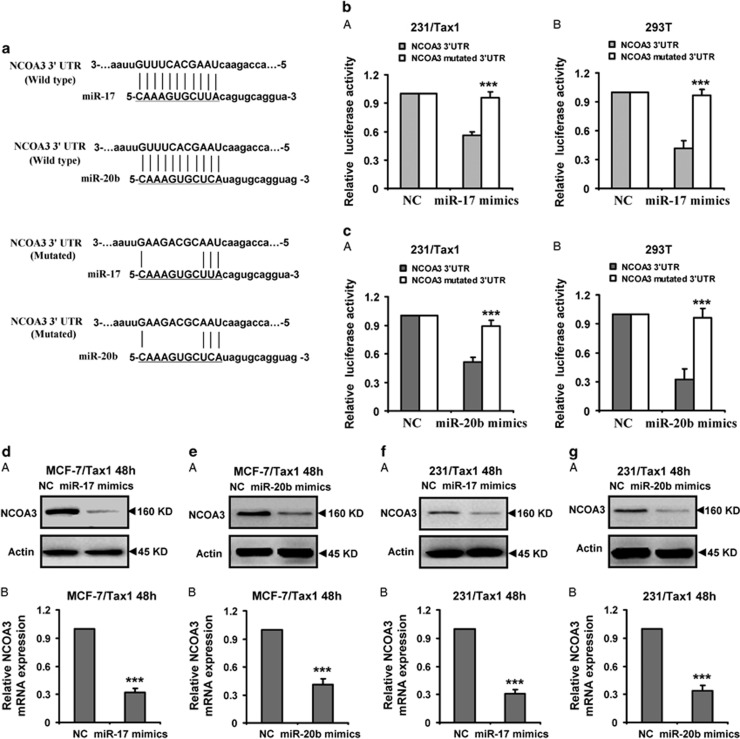 Identification of NCOA3 as a direct target of miR-17 and miR-20b. ( a ) The predicted miR-17 and miR-20b target sites in the 3′-UTR of NCOA3 mRNA and their mutated version. ( b and c ) Luciferase activity assays in 231/Tax1 and 293T cells showed that miR-17 and miR-20b inhibited the expression of NCOA3 . 231/Tax1 and 293T cells were co-transfected with pGL3 vector containing the wild-type or mutated 3′-UTR of NCOA3 , or pGL3-control vector, along with miR-17 or miR-20b mimics and NC. After 48 h, luciferase activity was detected. Data were normalized to luciferase activity in the corresponding cells transfected with NC and are represented as the mean±S.D. of three replicates. ( d - g ) Protein and mRNA levels of NCOA3 were downregulated by miR-17 or miR-20b mimics in breast cancer cells. MCF-7/Tax1 ( d and e ) and 231/Tax1 ( f and g ) cells were transfected with miR-17 or miR-20b mimics and NC, respectively. (A) Western blot was performed to detect the protein expression of NCOA3. Actin was used as a loading control. Data were from three independent experiments. (B) RT-PCR was performed to detect the mRNA expression of NCOA3. Actin was used as control. Data are mean±S.D. from three independent experiments. *** P