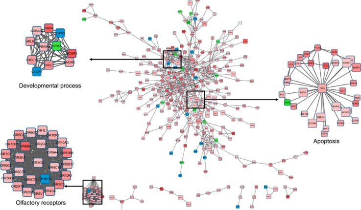 A PPI network analysis. The DEGs identified in the microarray analysis were used to build a PPI network. The STRING database was used to screen interacting proteins, which were then visualized as a PPI network using Cytoscape software. The network nodes represent genes and the edges represented interactions. The size of the nodes is proportional to the number of connections established with other genes. The 'developmental process', 'olfactory receptors' and 'apoptosis' clusters are presented on a larger scale. The gene expression levels were mapped on the network. Red indicates upregulation and green downregulation