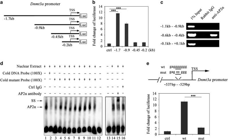AP2 α knockdown impairs both genome-wide DNA methylation and the promoter methylation of adipogenic TFs during the CI stage. ( a ) 5-methylcytosine immunofluorescence of 3T3-L1 preadipocytes at ci48 h. The cells were transiently transfected with either scramble siRNA (ctrl) or AP2 α siRNAs (si-1 and si-2) at ci0 h and fixed at ci48 h for 5-methylcytosine immunofluorescence. Scale bars: 10 μ m. ( b ) Quantification analyses of total nuclear 5-methylcytosine densities in AP2 α knockdown cells at ci48 h. Data were collected at the same voltage and were presented as mean±S.D. ( n =3). Statistical significance is indicated: *** P