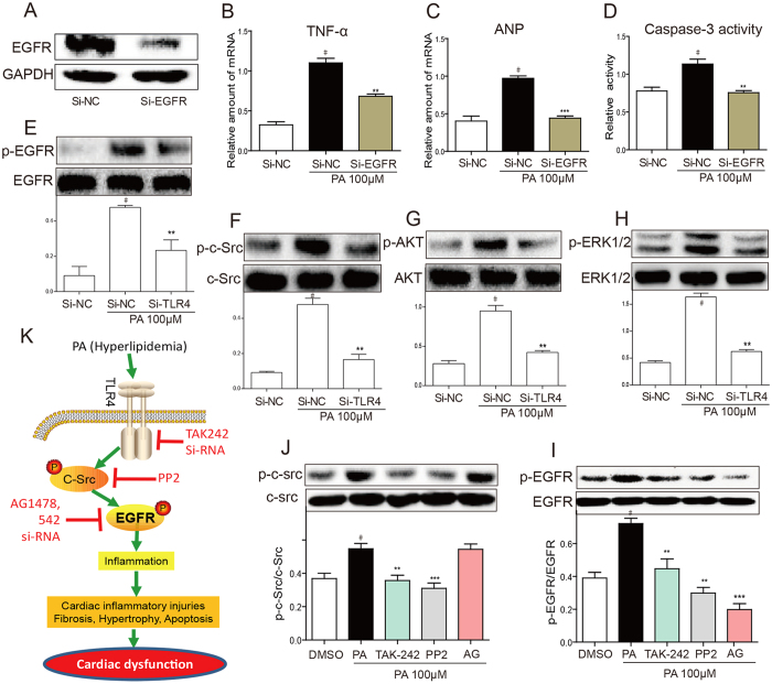 PA induces EGFR activation through TLR4/c-Src signaling cascade in H9C2 cells. ( A–D ) EGFR siRNA attenuated PA-induced cell injury. H9C2 cells were pretreated with EGFR siRNA for 6 h, and the down-regulation of EGFR protein expression was determined by western blotting ( A ). A scrambled sequence for the EGFR siRNA was used as the negative control (si-NC). Similar results were observed in three independent experiments. After incubating for 24 h, EGFR-silencing H9C2 cells were stimulated with PA (100 μM) for 6 h. TNF-ɑ ( B ) and ANP ( C ) mRNA levels were measured by qPCR and normalized by β-actin. Bars represent the mean ± SD of four independent experiments run in triplicate. The intracellular caspase-3 activity was evaluated upon PA (100 μM) treatment for 24 h ( D ). ( E–H ) TLR4 siRNA inhibited PA-induced EGFR pathway activation. H9C2 cells were pretreated with siTLR4 for 6 h to knock down TLR4. The phosphorylation levels of EGFR ( E ), c-Src ( F ), AKT ( G ), and ERK1/2 ( H ) were determined by western blot method after PA (100 μM) treatment for 15 min. The column figure shows the normalized optical density from four independent experiments. ( I,J ) H9C2 cells were pretreated with TAK-242 (TLR4 inhibitor), or PP2 (c-Src inhibitor), or AG1478 for 1 h, followed by PA (100 μM) treatment for 15 min. Phosphorylation of EGFR ( I ) and c-Src ( J ) were determined by western blot analysis. The gels were run under the same experimental conditions. Shown are cropped gels/blots (The gels/blots of 7 A , E – J with indicated cropping lines are shown in Supplementary Fig. S4 ). The column figure shows the normalized optical density from four independent experiments. Values are reported as means ± SEM (n = 4, # P