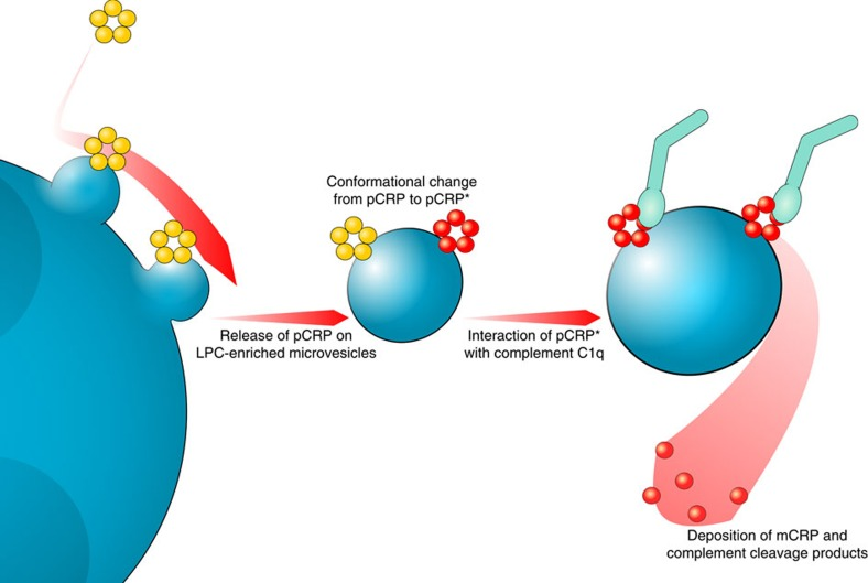 Model of CRP–microvesicle interaction. pCRP (yellow) binds to the plasma membrane of activated monocytes. It is subsequently released on membrane-derived microvesicles (blue). Microvesicle-associated pCRP is converted to pCRP* (red). pCRP* can activate the complement system by binding C1q (light green) or dissociate into individual mCRP subunits.