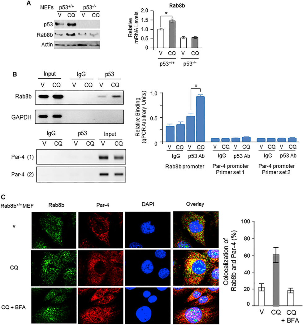 Rab8b Is a Direct Downstream Target of p53, which Is Activated by CQ (A) CQ induced Rab8b protein and mRNA levels in a p53-dependent manner. Wild-type (p53 +/+ ) or p53 −/− MEFs were treated with CQ (25 µM) or vehicle (V) for 24 hr; and either the lysates were examined by western blot analysis with the indicated antibodies (left panel), or mRNA prepared from the cells was examined by real-time qRT-PCR (right panel). *p