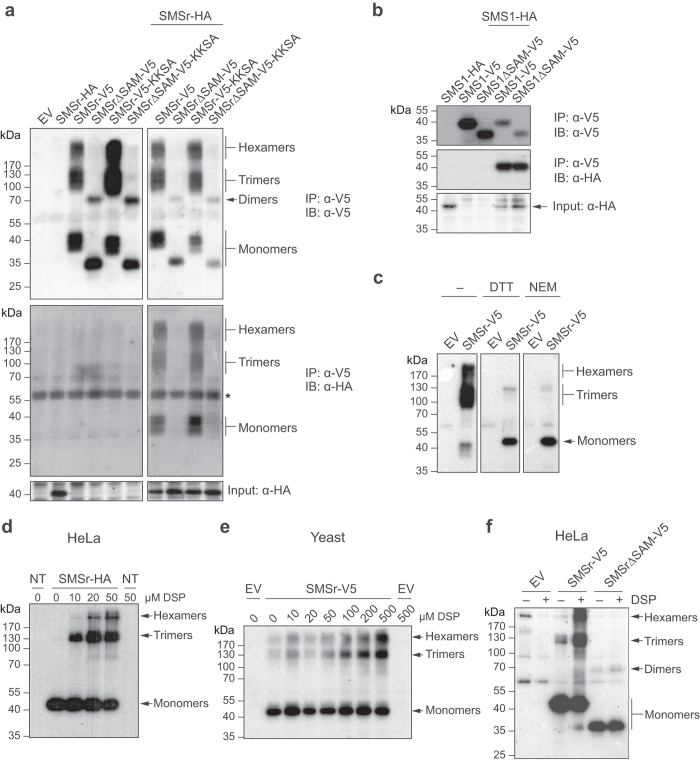 SMSr forms SAM-dependent homo-oligomers in the ER. ( a ) Detergent extracts of HeLa cells co-transfected with HA-tagged SMSr and V5/His6-tagged SMSr, SMSr∆SAM, SMSr-KKSA or SMSr∆SAM-KKSA were subjected to immunoprecipitation analysis using an anti-V5 antibody. Immunoprecipitates (IP) and total extracts (input) were immunoblotted (IB) using anti-V5 and anti-HA antibodies. An asterisk denotes immunoreactivity with IgG heavy chain. ( b ) Detergent extracts of HeLa cells co-transfected with HA-tagged SMS1 and V5/His6-tagged SMS1 or SMS1∆SAM were subjected to immunoprecipitation analysis using an anti-V5 antibody. Immunoprecipitates (IP) and total extracts (input) were immunoblotted (IB) using anti-V5 and anti-HA antibodies, as in ( a ). ( c ) HeLa cells transfected with empty vector (EV) or V5/His6-tagged SMSr were solubilized using detergent in the presence or absence of 10 mM N -ethyl <t>maleimide</t> <t>(NEM)</t> and subjected to Ni 2+ -NTA affinity chromatography. Ni 2+ -NTA eluates were incubated in the presence or absence of 100 mM DTT, and immunoblotted (IB) using an anti-V5 antibody, as in ( a ). ( d ) HeLa cells transfected with HA-tagged SMSr were treated with chemical crosslinker DSP (0–50 μM, 15 min, RT), solubilized by detergent in the presence of 10 mM NEM and subjected to immunoprecipitation analysis using an anti-HA antibody. Immunoprecipitates were immunoblotted using an anti-HA antibody. ( e ) Yeast cells transfected with empty vector (EV) or V5/His6-tagged SMSr were treated with DSP as in ( d ), lysed and subjected to immunoblot analysis using an anti-V5 antibody. ( f ) HeLa cells transfected with empty vector (EV), V5/His6-tagged SMSr or SMSr∆SAM were incubated in the presence or absence of DSP (50 μM, 15 min, RT), solubilized with detergent in the presence of 10 mM NEM and subjected to Ni 2+ -NTA affinity chromatography. Ni 2+ -NTA eluates were immunoblotted using an anti-V5 antibody. Uncropped images of blots are provided in Supplementary Fig. S1 .
