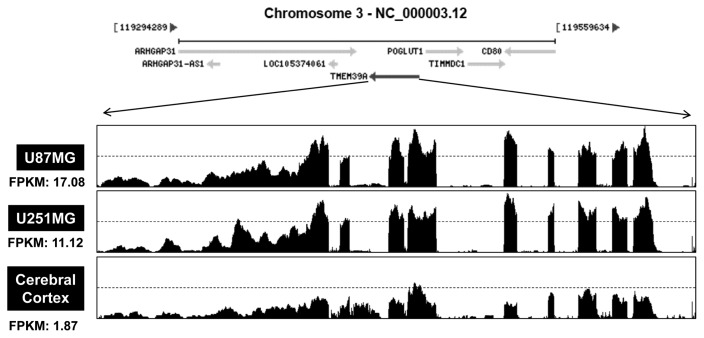 """Relative differences in TMEM39A transcript levels in GBM cells. Total RNAs were isolated from two GBM cell lines (U87-MG and U251-MG) and normal brain tissue. These samples were analyzed by standard RNA deep-sequencing (RNA-seq), as described in Materials and Methods. RNA-seq read densities of TMEM39A transcripts were plotted against relative RNA-seq read coverages (counts). """"Fragments per kilobase of exon per million fragments mapped"""" (FPKMs) were calculated to compare the expression levels of TMEM39A mRNA variants among various sample."""