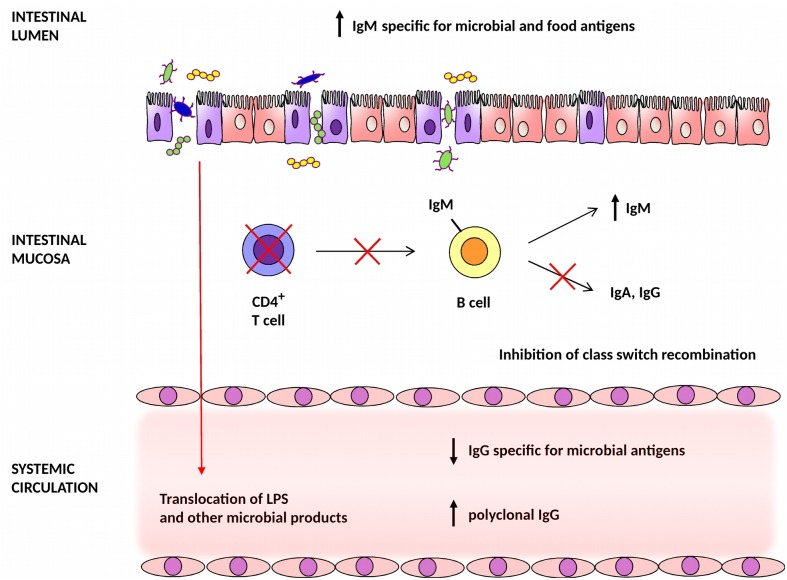 Dysregulation of systemic and mucosal humoral responses to microbial antigens in HIV-1-infected individuals. Depletion of CD4 + T cells in the intestinal mucosa of HIV-1-infected individuals reduces the capacity of mucosal B cells to undergo class switch recombination resulting in an increased production of IgM. Accumulated microbiota-specific IgM may exacerbate inflammatory processes by the formation of inflammatory immune complexes [ 28 ]. Epithelial cell apoptosis and decreased availability of antigen-specific IgG and IgA in mucosal secretions result in enhanced translocation of microbial products and whole bacteria across the intestinal mucosal barrier into the systemic circulation.