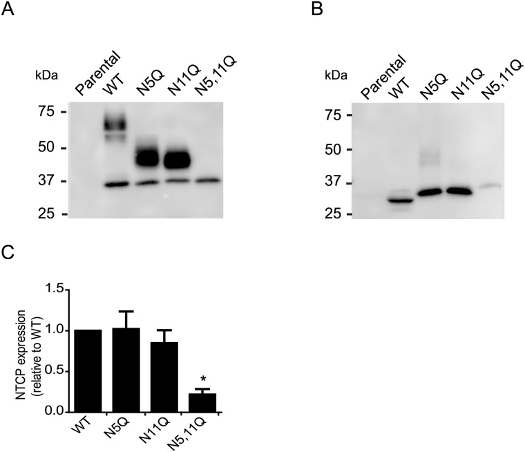 Effect of N-linked glycosylation on NTCP protein expression. (A and B) HA-tagged NTCP was immunoprecipitated (IP) from lysates of HepG2 cells stably expressing NTCP-WT, NTCP-N5Q, NTCP-N11Q or NTCP-N5,11Q. IP samples were subjected to <t>immunoblotting</t> for NTCP (using <t>anti-HA-hrp).</t> (B) IP samples were digested with PNGase F for 1h at 37°C (500 units) prior to immunoblotting for NTCP. (C) NTCP was quantified by image J and expressed relative to NTCP-WT. Molecular mass is given in kDa on the left-hand side. Results are mean +/- sd. *Indicates significant different from NTCP-WT (p