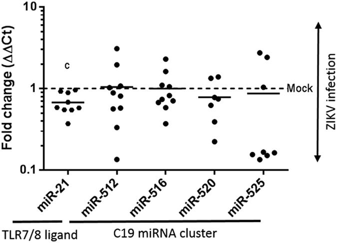Significant decrease in the level of the TLR7/8 ligand binding miR-21 miRNA, but not C19MC miRNA species following ZIKV infection in primary human trophoblasts. Exosomal RNA was isolated from primary trophoblasts of ten donors following ZIKV infection with 1 × 10 5 viral copies, or mock infected controls. RNA was then isolated from trophoblast cultures 3–5 days post infection. TaqMan qPCR assays were employed for species-specific miRNA quantification. Significant differences in miRNAs were observed for miR-21 (decreased ~1.5 fold (0.68 ± 0.2 SD), p = 0.001), while transcripts of the C19 miRNA cluster were not significantly changed by ZIKV infection. Fold change in miRNA species were calculated by the delta delta Ct method, normalizing first to U6 and then mean delta Ct of mock infected controls. Data was filtered for outliers as designated by a Q of 0.01. Significance was determined using t-tests, with designation of significance annotated by c (c significance p = 0.001).