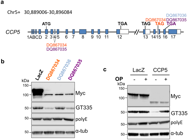 Enzymatic activities of CCP5 splicing variants. ( a ) Schematic representation of alternative splicing of Agbl5 that generates three CCP5 variants. DQ867034 and DQ867035 do not contain exon 4 and use the stop codons in exon 15 and 16 respectively. DQ867036 is the only CCP5 variant that contains exon 4 and uses the stop codon in exon 16. ( b ) When porcine tubulin was incubated with the lysate of HEK293 cells transfected with CCP5 variants, DQ867034 and DQ867035, it exhibited reduced GT335 immunoreactivity compared to LacZ transfected cells, indicative of active enzyme. In contrast, lysates from DQ867036 transfected cells showed no change in tubulin GT355 immunoreactivity, indicative of an inactive enzyme under these conditions. None of the 3 CCP5 variants altered polyE immunoreactivity, indicating their inability to cleave α-carboxyl–linked glutamate. ( c ) The activity of CCP5 (DQ867034) on branching glutamate (GT335) is inhibited by addition of 5 mM 1,10-phenanthroline (OP).