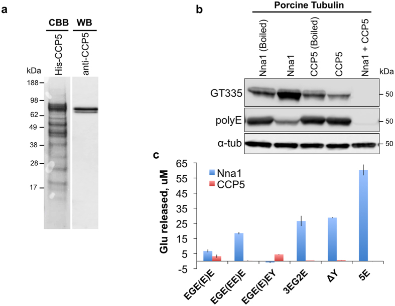 Purified recombinant CCP5 catalyzes the deglutamylation of porcine tubulin and synthetic substrates. ( a ) SDS-PAGE of purified recombinant CCP5 (DQ867034 splice variant) stained with Coomassie brilliant blue (CBB) (left lane). The major CBB band is immunoreactive with a CCP5 specific antibody (right lane). ( b ) Recombinant CCP5 and/or Nna1 were incubated with porcine tubulin and the deglutamylation activity was monitored by immunoblotting using GT335 and polyE antibodies. CCP5, but not the heat-denatured (Boiled) enzyme, reduced the GT335 signal without altering polyE immunoreactivity, indicative of specific removal of the branching glutamate of tubulin. Nna1 alone substantially reduced polyE immunoreactivity, though it increased the GT335 signal. Co-incubation of Nna1 and CCP5 completely abolished GT335 signal and further reduced polyE signal. ( c ) CCP5 is not active against three Nna1 synthetic substrates (Biotin-3EG2E, Biotin-ΔY, and Biotin-5E 4 ), but it is active against a substrate with an exposed γ-carboxyl-linked glutamate (Biotin-EGE(E)E). When the γ-carboxyl-linked glutamate is in chain with another α-linked glutamate (Biotin-EGE(EE)E), CCP5 is no longer active. CCP5, but not Nna1, is active against Biotin-EGE(E)EY, where the only terminal glutamate is linked through a γ-carboxyl, further confirming their substrate specificities. Bars are mean ± SEM (error bars) of triplicate determinations.