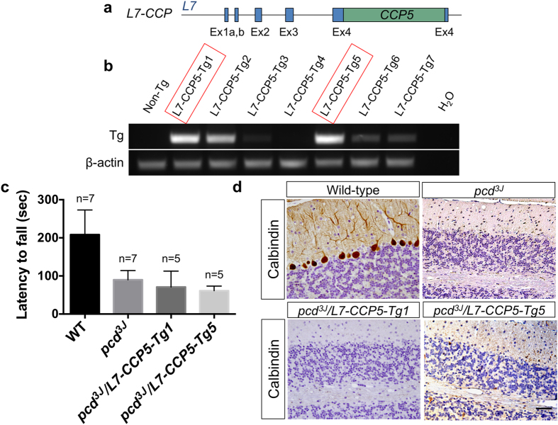 <t>CCP5</t> fails to rescue Purkinje cell death in pcd mice. ( a ) Schematic representation of L7-CCP5 transgenes. CCP5 cDNA (DQ867034) was inserted into a unique BamHI site in the fourth exon of the L7 gene 36 . ( b ) RT-PCR to determine transgene expression in cerebellum of wild-type (non-Tg) and different L7-CCP5 transgenic lines. The lines chosen for further investigation are boxed in red. ( c ) Accelerating rota-rod test of 2-month of age, gender balanced wild-type (WT) mice, pcd 3J −/− and pcd 3J −/− mice harboring L7-CCP5 (lines Tg1 and Tg5) showed that only the wild-type (WT) groups differed significantly ( p