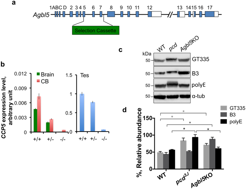 Agbl5 deficiency increases protein glutamylation in cerebellum. ( a ) Schematic representation of Agbl5 -KO allele. A region spanning exons 5, 6 and 7, which encodes ¾ of the entire carboxypeptidase domain of CCP5, is replaced by a selection cassette. ( b ) Quantitative real-time PCR using a probe spanning exon 11 and 12 shows that CCP5 RNA levels in the tissues examined are greatly reduced in heterozygous animals compared to that of wild-type littermates, and are barely detectable in the homozygous mutants. RNA levels were normalized to internal GAPDH levels and compared with the values of wild-type testis. Bars are mean ± SEM (error bars) of determinations of three animals. ( c ) Glutamylation or polyglutamylation levels in cerebellar lysates from wild-type (WT), pcd 3J −/− and Agbl5 -KO mice are monitored by immunoblotting for GT335, B3, and polyE immunoreactivities, and ( d ) quantitatively analyzed using ImageStudio with normalization to α-tubulin levels. The bars represent the mean ± SEM of 3 animals of each genotype. GT335 immunoreactivity is significantly elevated in both pcd and Agbl5- KO mice compared to that of wild-type ( p