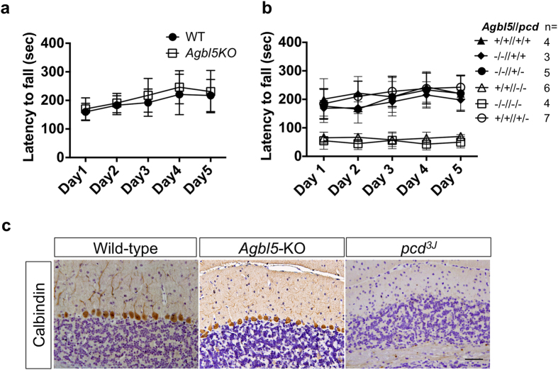 Agbl5 deficit does not recapitulate the neurodegeneration phenotype of pcd mice. ( a ) 2-month-old gender-balanced littermates of wild-type (WT, n = 4) and Agbl5 -KO (n = 9) were tested on an accelerating rota-rod for five consecutive days. The latency to fall in seconds for all animals of each group was recorded and presented as mean ± SEM. One-way ANOVA showed that the wild-type mice are not significantly different ( p > 0.05 ) from the Agbl5- KO. Therefore, Agbl 5 deficit does not cause the locomotor dysfunction seen in pcd 3J −/− mice. ( b ) Rota-rod test to determine whether deletion of Agbl5 exacerbates the locomotor phenotype in pcd 3J −/− mice or elicits a synthetic locomotor deficit in pcd- heterozygous mice. 2-month old gender-balanced littermates of each genotype (n = 3–7) were tested on a rota-rod as described. One-way ANOVA showed Agbl5- KO/ pcd double mutants (−/−//−/−) are indistinguishable from pcd (+/+//−/−) mice. Agbl5 -KO mice on a pcd heterozygous background (−/−//+/−) are not ataxic and have a locomotor performance comparable with that of wild-type (+/+//+/+), Agbl5 -KO (−/−//+/+) and pcd heterozygous (+/+//+/−) mice. ( c ) Calbindin D-28K immunohistochemistry and hematoxylin counterstaining of cerebellar sections from 2-month old wild-type, Agbl5- KO, and pcd 3J −/− mice. In contrast to their loss in pcd 3J −/− mice, calbindin-positive Purkinje neurons are preserved in Agbl5 -KO similar to those in wild-type animals. Scale bar: 50 μm.