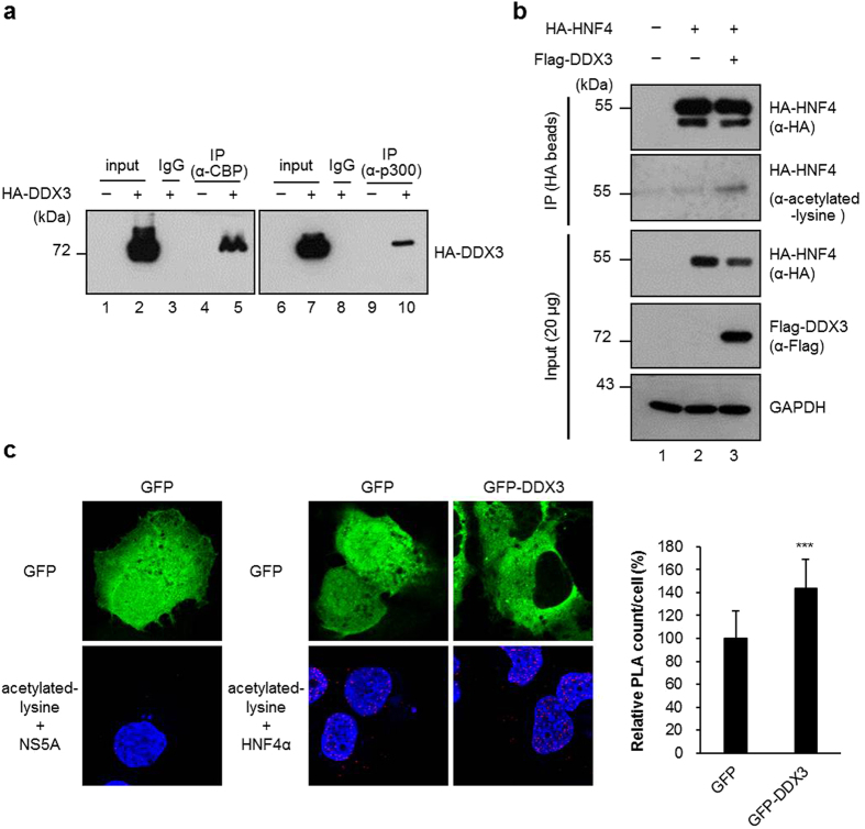DDX3 interacts with CBP/p300 and induces the acetylation status of HNF4. ( a ) DDX3 interacts with CBP and p300 in vivo . HuH7 cells were transfected with HA-DDX3 expressing plasmid or vector control. After 48 hr, the nuclear fractions (200 μg) were collected and incubated with antibodies against CBP or p300, and then the mixtures were bound to protein G sepharose beads. The precipitates were subjected to immunoblotting with anti-HA antibody. The IgG-conjugated protein G sepharose beads (mouse, lane 3 and lane 8) incubated with HA-DDX3 expressed nuclear extracts were used as negative control. Input; 10% (20 μg) of the nuclear extract. ( b ) Ectopic expression of DDX3 induces the acetylation status of HA-HNF4. HuH7 cells were transfected with plasmid expressing HA-HNF4 alone or together with HA-DDX3 expression construct as indicated. The whole cell extracts (1 mg) prepared from the transfected cells were subjected to immunoprecipitation of HA-HNF4 with anti-HA agarose beads. After extensive wash, the total amounts and acetylated forms of immunoprecipitated HA-HNF4 were detected by Western blot analysis with anti-HA and anti-acetylated lysine (Cell Signaling Technology) antibodies, respectively. ( c ) In situ proximity ligation assay (PLA) indicates that ectopic expression of DDX3 induces endogenous HNF4 acetylation. HuH7 cells transfected with either GFP or GFP-DDX3 expressing plasmids for 48 hr were fixed and subjected to PLA with anti-HNF4 (Abcam) and anti-acetylated lysine antibodies. Anti-NS5A antibody (Austral Biologicals) served as control. Nuclei were stained with DAPI (blue). The numbers of PLA signals per cell were quantified using MetaMorph software (Molecular Devices) and are shown as means ± S.D. relative to that of GFP-transfected cells. n = 50. *** p