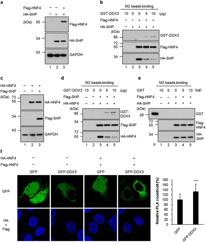 DDX3 disrupts the formation of SHP/HNF4 heterodimer and promotes the formation of the active HNF4 homodimer. ( a and b ) HuH7 cells were transfected with HA-SHP expression plasmid alone or together with Flag-HNF4 expression plasmid as indicated. ( a ) Immunoblotting was performed with antibodies against HA and Flag. ( b ) The total cell lysates (2 mg) of co-expressed Flag-HNF4 and HA-SHP were incubated with anti-Flag M2 agarose resins. After extensive washing, increasing amounts of purified GST-DDX3 proteins (as indicated on the top, lane 3–5) were added to the mixtures of the beads with bound fractions. The immunoprecipitated proteins were analyzed by immunoblotting with antibodies against Flag, HA and DDX3. The GST-DDX3 alone (lane 1) and cell lysates of expressed HA-tagged SHP (lane 2) incubated with anti-Flag M2 agarose resins were used as negative control. ( c , d and e ) Similar experiments were performed as shown in panel a and b, except HuH7 cells were transfected with HA-HNF4 expression plasmid alone or together with Flag-SHP expression plasmid ( c and d ), or purified GST protein was used instead of GST-DDX3 in ( e ). ( f ) Overexpression of DDX3 increases HNF4 homodimer formation. HuH7 cells were transfected with either GFP or GFP-DDX3 expressing plasmids together with HA and Flag vectors (−) or expressing plasmids for HA-HNF4 and Flag-HNF4 (+). Forty-eight hours later, cells were fixed and analyzed by PLA with anti-HA (Abcam) and anti-Flag antibodies. Nuclei were stained with DAPI (blue). In cells cotransfected with HA-HNF4 and Flag-HNF4, the numbers of PLA signals per cell were quantified using MetaMorph software and are shown as means ± S.D. relative to that of GFP-cotransfected cells. n = 50. *** p