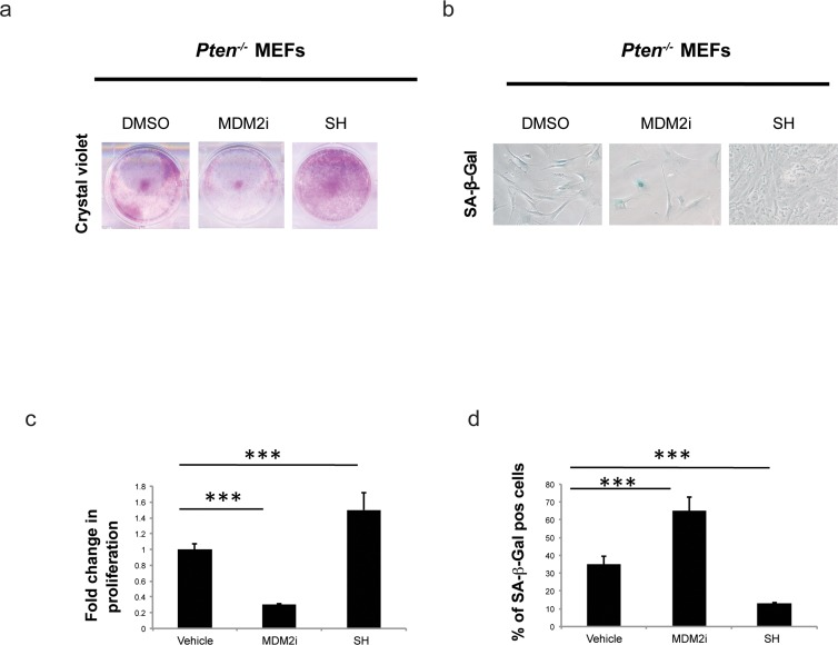 Effect of S. haenkei treatment on growth arrest and senescence in Pten−/− MEFs ( a ) Proliferation of Pten−/− MEFs in culture after 5 days of treatment with S. haenkei extract. Pten−/− MEFs were plated in concentration of 2×10 4 cells/ml and treated for 5 days with 10μM MDM2i (Nutlin-3) or 10μg/ml SH extract. After this period, the proliferation was determined using Crystal violet staining. ( c ) Results are expressed as mean values (+SEM) of absorbance at 590nm for duplicates treated with SH and triplicate for control and Nutlin-3 treated groups, from one representative experiment out of 3 independent experiments. ( b-d ) Senescence of Pten−/− MEFs in culture after 5 days of treatment with S. haenkei extract. The graph represents percentage of β-galactosidase positive cells revealed in culture upon 5 day treatment with 10μM MDM2i (Nutlin-3) or 10μg/ml S. haenkei extract. Quantifications were done on 4 images (roughly 500 cells) per experiment by determining the ratio of perinuclear blue–positive to perinuclear blue–negative cells. Results are expressed as mean values (+SEM) of cell count in three independent experiments.