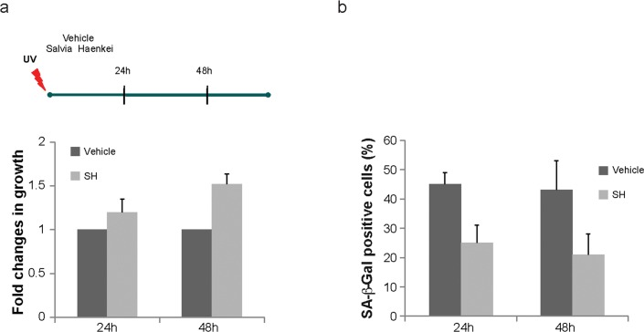 Effect of S. haenkei treatment on photo ageing of human fibroblasts WICCL75 human fibroblasts were irradiated with 30J/m 2 UVB and 3h later treated with 10μg/ml S. haenkei extract. ( a ) Proliferation of irradiated human WI38 fibroblasts treated with S. haenkei extract. Cell proliferation was measured by Crystal violet staining at time points treatment (10μg/ml) 24h and 48h and represented as fold change in growth (compared to untreated control). Results are expressed as mean values (+SEM) for duplicate in each group in one representative experiment out of three independent experiments. ( b ) Senescence of irradiated human WI38 fibroblasts treated with S. haenkei extract. The graph represents percentage of β-galactosidase positive cells revealed in culture at time points 24h and 48h. Quantifications were done on 4 images (roughly 500 cells) per experiment by determining the ratio of perinuclear blue–positive to perinuclear blue–negative cells. Results are expressed as mean values (+SEM) of cell count in three independent experiments.
