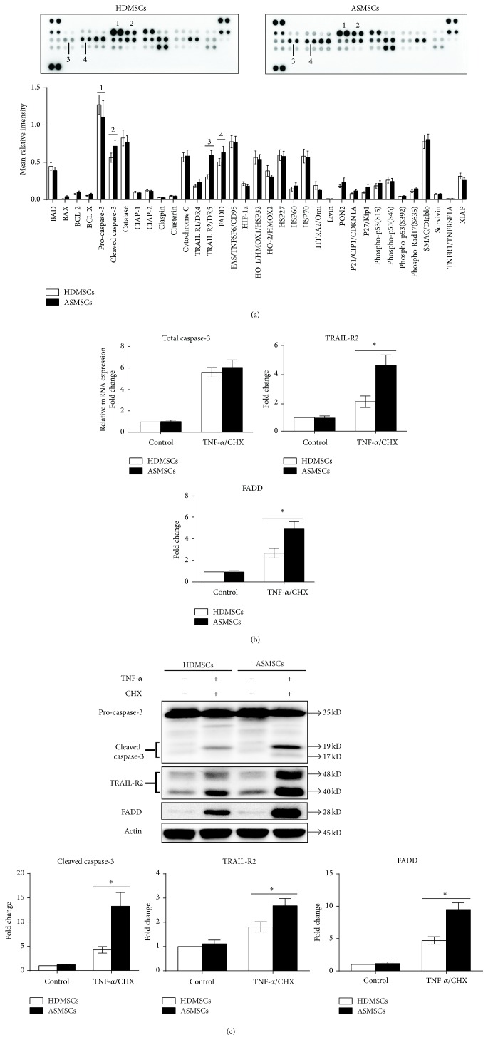 ASMSCs had increased protein expression of cleaved caspase-3, TRAIL-R2, and FADD and increased gene expression of TRAIL-R2 and FADD during apoptosis. (a) The Proteome Profiler™ Human Apoptosis Array Kit was used to determine the expression levels of 35 apoptosis-related proteins in HDMSCs ( n = 6) and ASMSCs ( n = 6) after treatment with TNF- α /CHX. The intensity of each pair of spots represents repeated measures of one protein. ASMSCs had lower pro-caspase-3 (a.1) expression but higher cleaved caspase-3 (a.2), TRAIL-R2 (a.3), and FADD (a.4) expression levels than HDMSCs. No significant differences in the expression of the remaining 31 proteins were found between HDMSCs and ASMSCs (b) qRT-PCR was performed to confirm the results of the Proteome Profiler™ Human Apoptosis Array. The results of TRAIL-R2 and FADD in HDMSCs ( n = 28) and ASMSCs ( n = 22) were consistent with those of the Proteome Profiler™ Human Apoptosis Array. However, total caspase-3 mRNA expression was not different between HDMSCs and ASMSCs. (c) Western blot analysis was performed on proteins isolated from HDMSCs ( n = 28) and ASMSCs ( n = 22) to further confirm the results of the Proteome Profiler™ Human Apoptosis Array, and the results of both methods were in agreement. Values are presented as the mean ± SD. ∗ indicates P