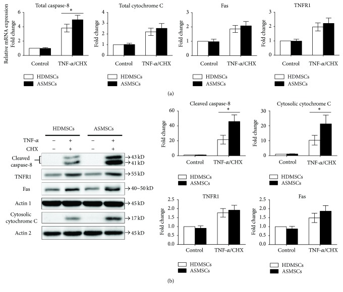 The DR and mitochondrial pathways were both involved in MSC apoptosis. (a) qRT-PCR was performed to compare the gene expressions of total caspase-8, total cytochrome C, Fas, and TNFR1 between HDMSCs ( n = 28) and ASMSCs ( n = 22). ASMSCs expressed much higher gene expression levels of total caspase-8 than HDMSCs after treatment with TNF- α /CHX, while no difference was found between HDMSCs and ASMSCs in total cytochrome C, Fas, or TNFR1 gene expression levels. (b) A western blot was performed to compare the protein expressions of cleaved caspase-8, cytosolic cytochrome C, TNFR1, and Fas between HDMSCs ( n = 28) and ASMSCs ( n = 22). After treatment with TNF- α /CHX, ASMSCs had higher cleaved caspase-8 and cytosolic cytochrome C protein expression levels than HDMSCs and similar protein levels of TNFR1 and Fas as HDMSCs. Fold changes are presented as the mean ± SD. ∗ indicates P