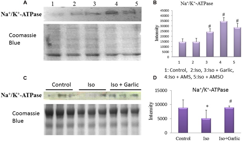 Effect of garlic and its metabolites on Na + /K + <t>-ATPase</t> expression. (A,B) Western blot and bar graph of Na + /K + -ATPase from H9C2 cells. (C,D) Western blot and bar graph of Na + /K + -ATPase from rat heart. (Gels and blots were cropped and run under same experimental conditions). ( N = 3). Data were shown as mean ± SEM, ∗ p