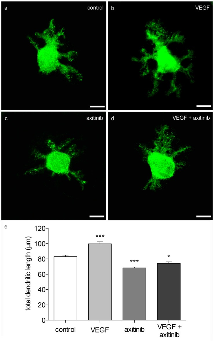 Morphometric analysis of VEGF effects on neonatal PC dendrites. (A) Analysis of young, calbindin-stained PCs (labeled with green fluorescent secondary antibody, p1 + 5 div), and treated with VEGF (B) , axitinib (C) or VEGF + axtinib (D) for a period of 48 h. (E) Morphometric analysis of the dendritic length. Data are provided as means ± SEM. Data were tested for significance using one-way ANOVA with Bonferroni multiple comparisons post-test. Significant differences are indicated by *** p
