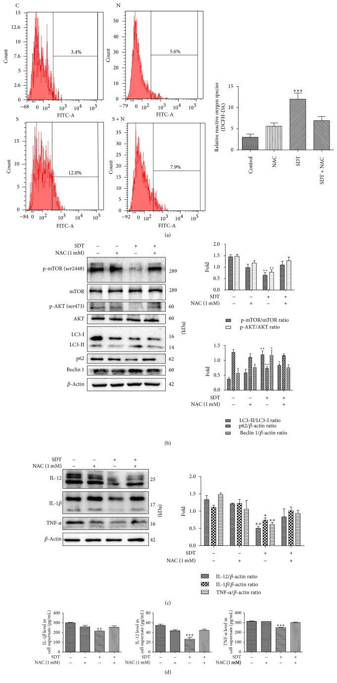 Autophagy triggered by HSYA-SDT through the PI3K/Akt/mTOR pathway and the inhibition of inflammatory factors were suppressed by the ROS scavenger NAC. (a) The relative fluorescence intensity of ROS generation detected in THP-1 macrophages with or without pretreatment with NAC was measured by flow cytometry. (b) The effect of NAC on the expression levels of mTOR, p-mTOR (Ser 2448), AKT, p-AKT (Ser 473), LC3-Ι, LC3-ΙΙ, p62, and beclin 1 at 30 min after SDT was determined, and quantifications of the proteins above are shown. (c) Protein extracts from untreated cells (Control) and cells treated with NAC, HSYA-SDT, or NAC prior to HSYA-SDT were analyzed by Western blots to detect TNF- α , IL-12, and IL-1 β . Quantifications of protein expression are also provided. (d) ELISAs of the inflammatory factors TNF- α , IL-12, and IL-1 β secreted by THP-1 macrophages with or without pretreatment by NAC. All data are mean ± standard error ( n = 5). ∗ p