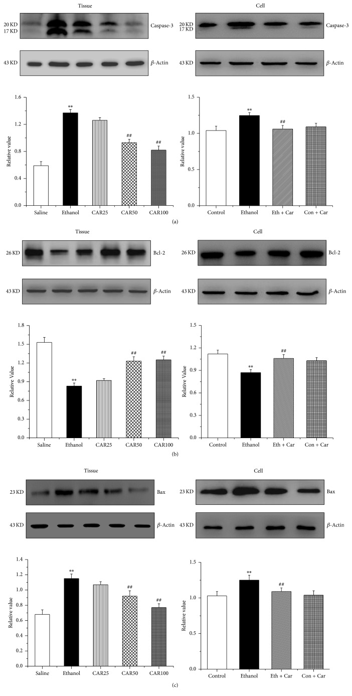 Carvacrol altered the protein expression of caspase-3, Bcl-2, and Bax of the hippocampus in ethanol-treated C57BL/6 mice and hippocampal neurons. (a), (b), and (c) show the quantitative analysis of the protein levels of caspase-3, Bcl-2, and Bax in mouse hippocampi and hippocampal neurons, respectively. The data were normalized to the loading control GAPDH. The data are expressed as the mean ± SEM ( n = 6 per group). ∗∗ P