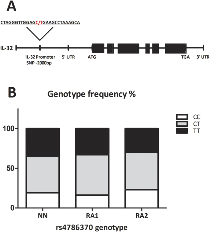 The IL-32 promoter SNP. ( A ) Location of the IL32 promoter SNP within the IL32 region on chromosome 16. ( B ) Genotype frequencies of the IL32 rs4786370 promoter SNP in individuals from the NN cohort (NN; CC:19.2%, CT:45.7%, TT:35%), RA patients from the Radboudumc Nijmegen (RA1; CC:16.1%, CT:51%, TT:32.9%) and RA patients from the Reade clinic Amsterdam (RA2; CC:23%, CT:47.1%, TT:29.9%). Total number of patients per cohort; NN:#234, RA1:#292, RA2:#348. Chi-square analysis (IBM SPSS Statistics v.22) showed no significant differences in genotype distribution between the cohorts.