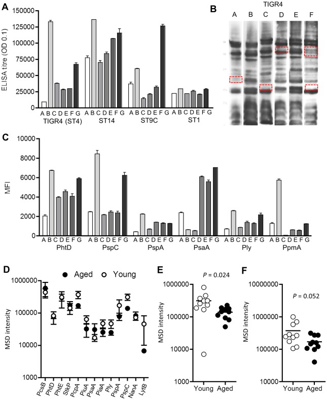 Variation of IgG antigen targets between individuals and with age. (A-C) Results for six Malawian subjects (labelled A to G). (A) whole cell ELISAs to 4 S . pneumoniae strains (serotype 4, 14, 9C and 1). (B) Immunoblots of IgG binding to the wild-type S . pneumoniae strain D39 (10 μg / lane, red boxes highlight bands that visibly vary in intensity between subjects). (C) MFI of IgG binding to selected protein antigens measured using a Luminex assay. Data points represent mean (SEMs) of two technical duplicates for IgG binding. For immunoblots and the Luminex assay, sera were diluted to 1/1000. (D) Levels of serum IgG binding to specific protein antigens aged (mean age 67.2 years, black symbols) and young subjects (mean age 31.2 years, empty symbols) measured by multiplex MSD (only results for antigens with stronger responses are shown as means and SEM). (E-F) Levels of serum IgG binding for each individual aged (black symbols) and young (empty symbols) adult subjects to the protein antigens PspC (E) and PcpA (F) measured by MSD. P values were calculated using unpaired T tests, with bars representing means for the group.