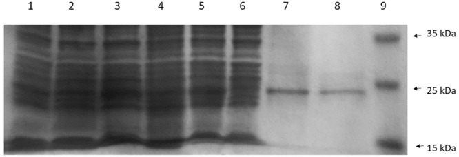 The sodium dodecyl sulfate polyacrylamide gel electrophoresis (SDS-PAGE) profile of CneI overexpression (Lanes 1–5) and purification (Lanes 6–8) from E. coli BL21(DE3)pLysS. Lane 1: Cell lysate of E. coli BL21(DE3)pLysS. Lanes 2 and 3: Cell lysate of E. coli BL21(DE3)pLysS transformed with empty pET28a with and without IPTG induction, respectively. Lanes 4 and 5: Cell lysates of E. coli BL21(DE3)pLysS harboring pET28a_ cneI with and without induction, respectively. Lane 6: Flowthrough fraction. Lane 7: Wash fraction. Lane 8: Eluted fraction. Lane 9: PageRuler prestained protein ladder in kiloDalton (kDa). (Thermo Scientific, Waltham, MA, USA).