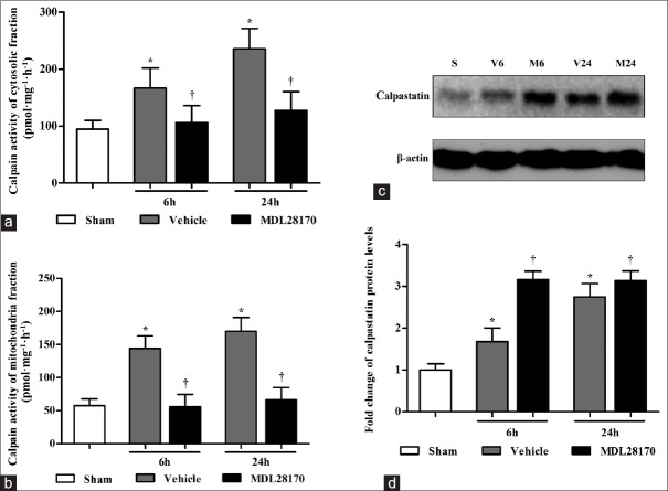 MDL28170 treatment suppresses the calpain activity in the cytosolic and mitochondrial fractions and upregulates the expression of calpastatin in the cytosolic fractions. (a and b) The bar graphs reflect the calpain activity in the cytosolic fractions and mitochondrial fractions at 6 h and 24 h. (c) Representative Western blots of calpastatin and β-actin from each group; (d) the results were quantified and are shown as the mean ± SD. * P