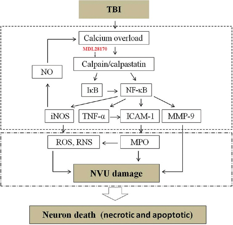 Schematic diagram showing the relationship of calpain/NF-κB/inflammation/NVU damage after CCI in mice. Traumatic brain injury induces calcium overload, which, in turn, upregulates calpain. Calpain may downregulate IκB and activate NF-κB. NF-κB induces activation of TNF-α, iNOS, ICAM-1, and MMP-9. These inflammatory substances induce degradation of basal lamina and tight junction proteins, resulting in NVU disruption, leading to brain edema. MDL28170 could reverse those changes. NF-κB: Nuclear factor-κB; NVU: Neurovascular unit; CCI: Controlled cortical impact; IκB: Inhibitory-κB; TNF-α: Tumor necrosis factor-α; iNOS: Inducible nitric oxide synthase; ICAM-1: Intracellular adhesion molecule-1; MMP-9: Matrix metalloproteinase-9.