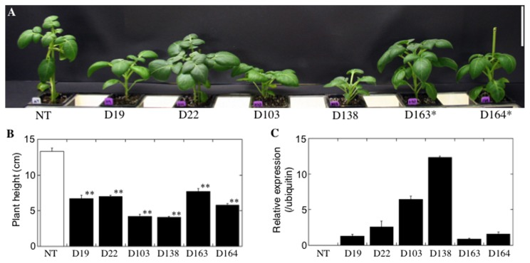 Screening of transgenic lines in a growth room. To identify transgenic lines with the same growth parameters as those of the non-transgenic (NT) plants, six transgenic lines (D19, D22, D103, D138, D163 and D164) along with non-transgenic lines were kept in a growth room under non-saline conditions for 30 days. (A) Representative features of each potato line 30 days after the start of cultivation in the growth room. Scale bar represents 5 cm. Lines selected for further study are indicated with an asterisk. (B) The average shoot length of each potato line 30 days after the start of cultivation. Bars represent the means ± SE of three replications. Double asterisks indicate significant differences from non-transgenic potato at the 1% level by Tukey's test. (C) Expression level of the AtDREB1A gene. Total RNA was extracted from leaves of transgenic and non-transgenic potato plants 30 days after the start of cultivation in the growth room. The expression level was evaluated by real-time PCR. Bars represent the means ± SE of three replications.