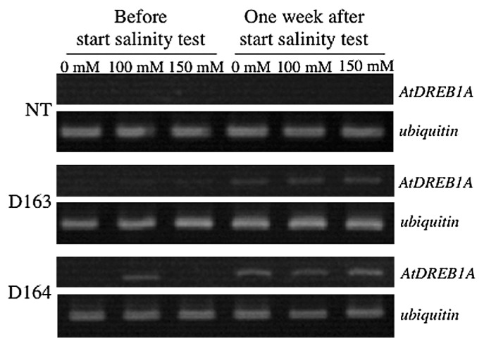 Expression profiles of the AtDREB1A gene. Expression profiles of the AtDREB1A gene (upper panel), with ubiquitin as an internal control (lower panel), detected with RT-PCR. Total RNA was extracted from the leaves of non-transgenic potato (NT) and two transgenic lines (D163 and D164) under non-saline and salinity stress conditions (100 and 150 mM NaCl), both before and one week after the start of cultivation in the special netted-house.