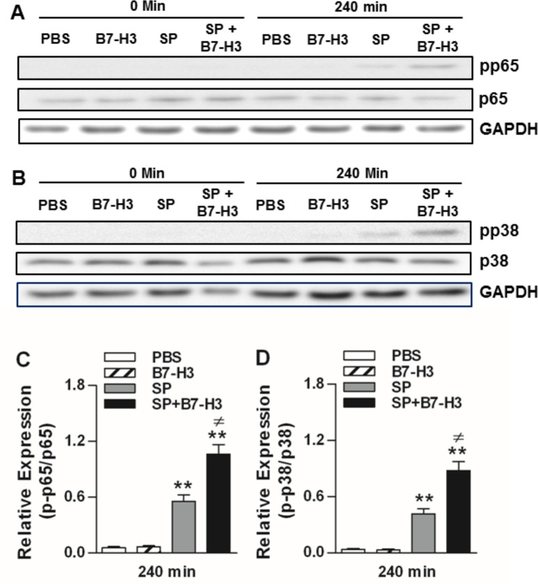 Administration of B7-H3 up-regulates phosphorylation of NF-κB p65 and MAPK p38 in brain tissues of S . pneumoniae -infected mice. Mice were challenged with PBS as the control, recombinant mouse B7-H3, live S . pneumoniae (SP), or live S . pneumoniae plus B7-H3 (SP+B7-H3) via intracerebral ventricular injection as described in the Methods. Brain samples were collected at the indicated time points after challenges. Phosphorylated p65 at Ser536 ( A ), total p65 ( A ), phosphorylated p38 at Thr180/Tyr182 ( B ), and total p38 ( B ) was detected by Western blot analysis. Data shown represent one experiment from a total of four separate experiments. Density ratios of p-p65/p65 (n = 4) ( C ) and p-p38/p38 (n = 4) ( D ) were quantified by densitometry analysis. ** p