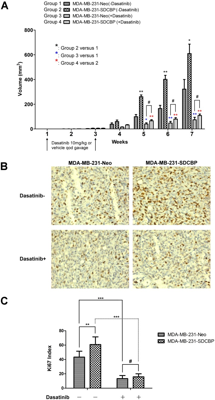 The effects of SDCBP overexpression and the intragastric administration of dasatinib on tumor growth in nude mice inoculated with MDA-MB-231 cells. (A) Comparison of the tumor volumes at the end of each week after inoculation in different groups of nude mice inoculated with MDA-MB-231 cells that received SDCBP overexpression and/or the intragastric administration of dasatinib (#P > 0.05; *P